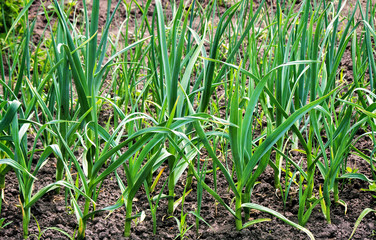 Plant garlic in the garden.