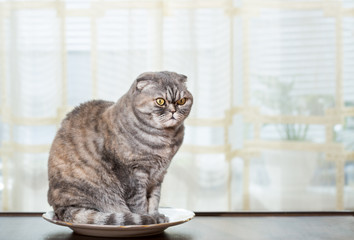 Hungry cat sits in a plate in the kitchen. Cat waits when will feed.