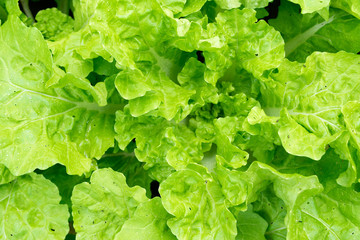 Close up green Lettuce nature fresh abstract background