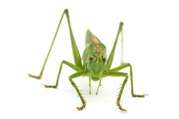 big green grasshopper isolated on white background