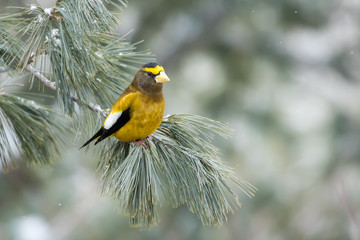 Evening Grosbeak, Coccothraustes Vespertinus, perched in a pine tree during a light snowfall.  Making eye contact.