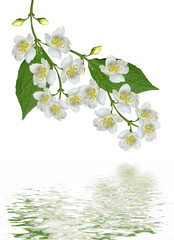 branch of jasmine flowers isolated on white background
