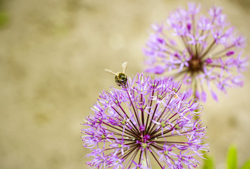 Two purple flowers in a garden and bee