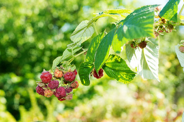 Horticulture and cultivation of raspberries, a remedy for colds and flu, increases immunity and resistance to disease, a lot of red raspberries on a bush