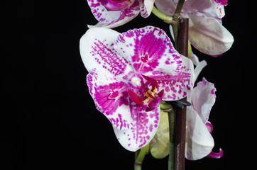 White orchid with purple center on black background