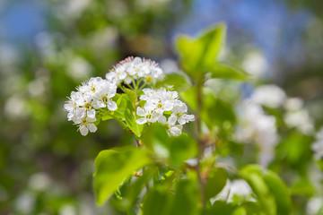 springtime pear tree blossoms