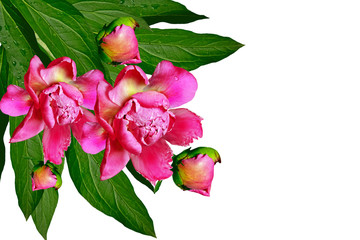 peony flowers isolated on white background.