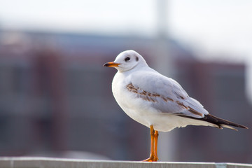 Seagull in Wroclaw
