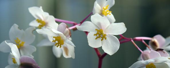 Flower of the Begonia genus Wall mural