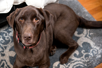 Pretty Chocolate Lab in a bedroom at foot of bed