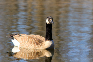 Color DSLR stock image of a Canadian Goose (Branta Canadensis) swimming on a calm pond. Horizontal with copy space for text