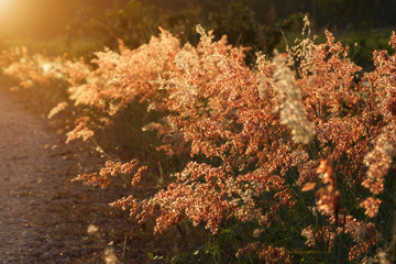 wild grass in sunset counterlight at country road.