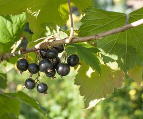 Berries. Blackcurrant