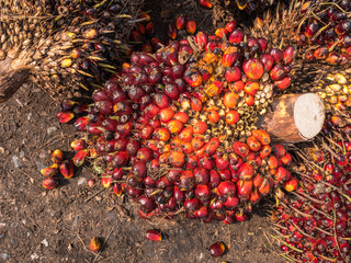 Palm Oil Fruits on the floor.