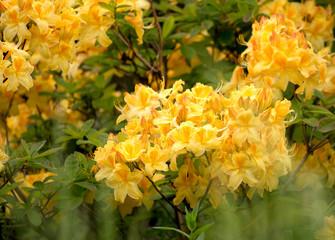 Yellow azalea, Rhododendron bush in blossom