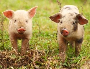 Cute piglets