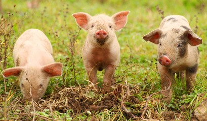 Three funny piglets on farm
