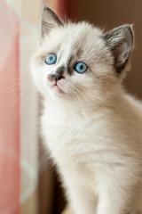 kitten close-up indoors