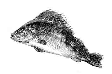 An engraved vintage fish illustration image of a common perch, from a Victorian book dated 1857 that is no longer in copyright