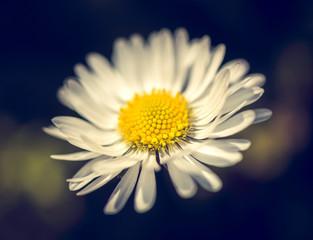 Daisy flower in garden