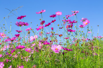 pink cosmos flower bloming in the garden with blue sky backgroun
