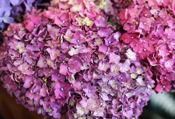 Bouquet of colorful hydrangea flowers