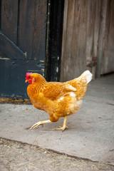 Red Chicken running in barn yard