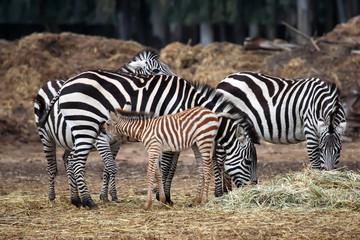 The Zebra family