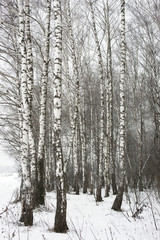 Берёзовый лес зимой