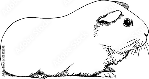 Vintage drawing guinea pig
