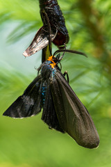 A ctenucha moth, Virginia ctenucha, emerges from its crysalis.