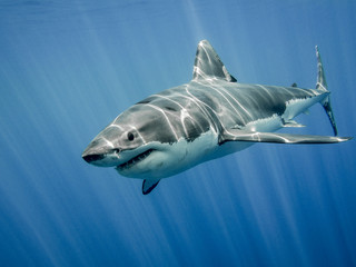 Great white shark and sun rays