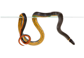 The ring-necked snake is best known for their unique defense pos