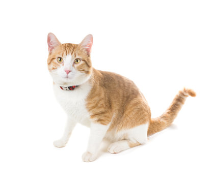 Ginger cat sitting in a red collar and a frightened look