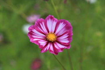 Cosmos flower blooms