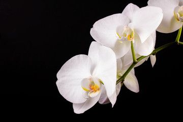 branch white orchid and black background