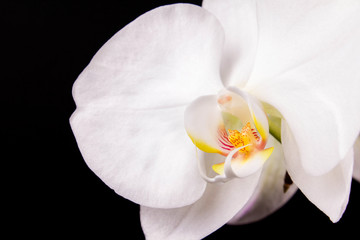white orchid and black background