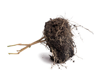 Root Plant with soil