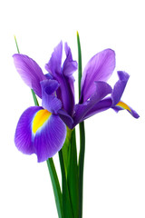 iris bouquet of fresh flowers isolated on white background