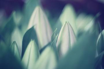 tulipano chiuso colore tenue