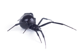 North American black widows spider, side view. Isolated on white