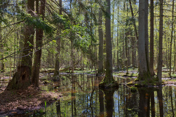 Riparian stand of Bialowieza Forest in sun