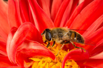 Hoverfly (Eristalis tenax) collecting pollen on a Dahlia