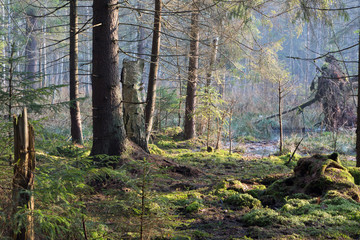 Fototapete - Sunbeam entering rich swampy coniferous forest