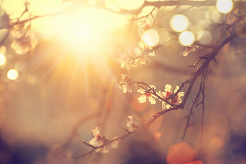 Wall Mural - Beautiful nature scene with blooming tree and sun flare