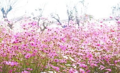 Pink cosmos flowers in the garden