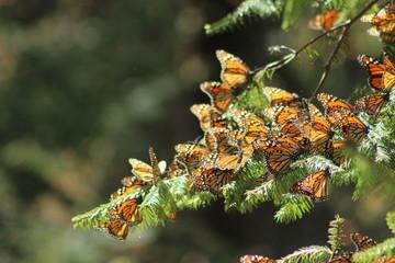 Mariposas monarca en México