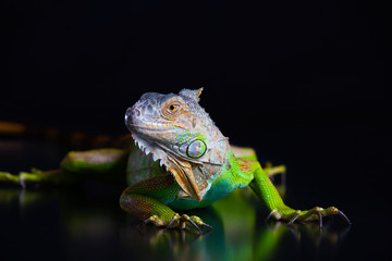 Green Iguana is on a black background