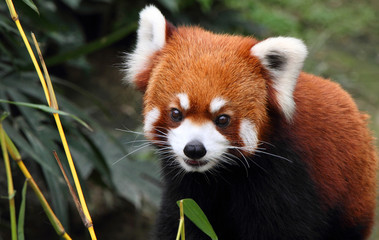 lovely red panda in Hong Kong