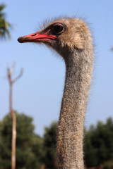Featured ostrich at the zoo park